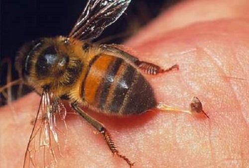 trị côn trùng đốt cho bé với loài ong