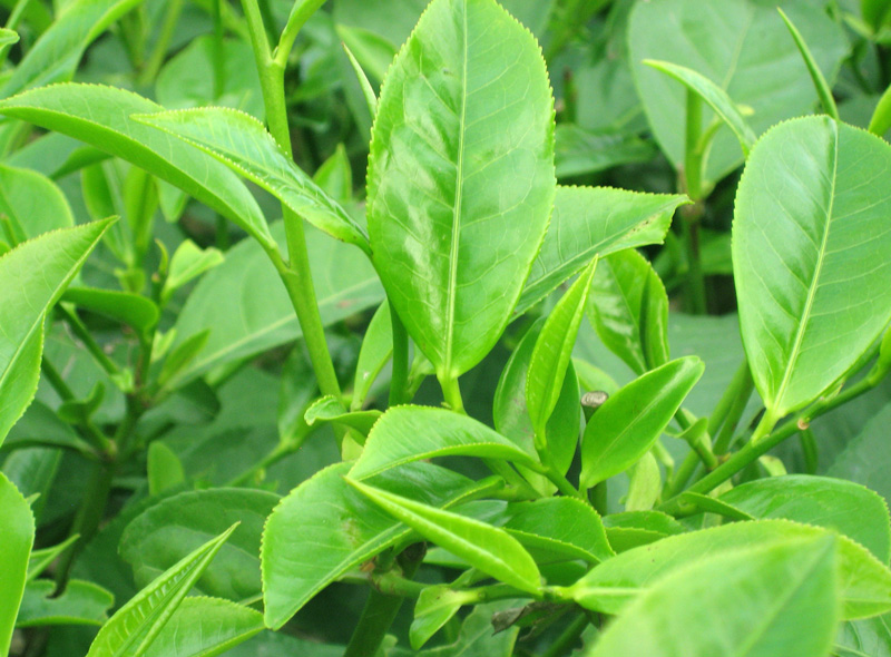 trị hăm da ở trẻ sơ sinh bằng lá trà