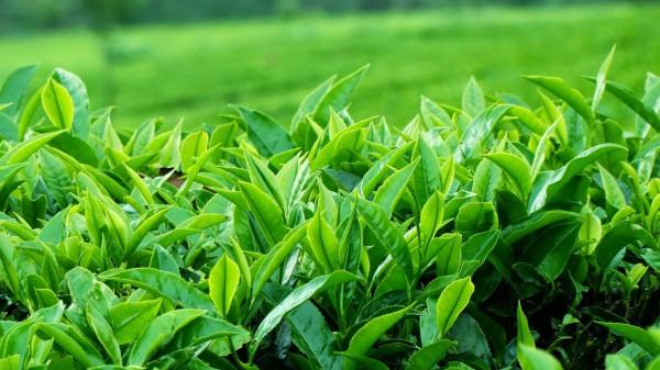 hăm tã ở trẻ chữa bằng trà xanh