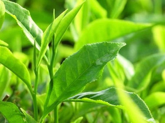 trà xanh là cách trị hăm cho trẻ sơ sinh hiệu quả