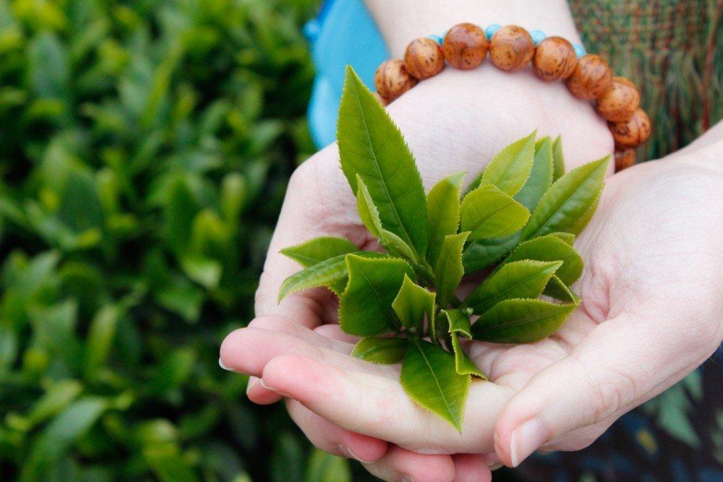 cách trị hăm cho bé bằng lá trà xanh