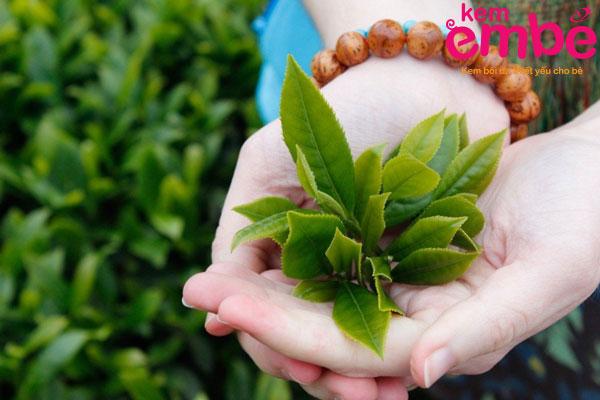 Lá trà xanh giúp trị vết muỗi cắn