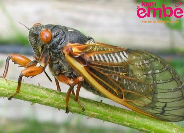 Ve sầu là côn trùng cắn gây tê tay