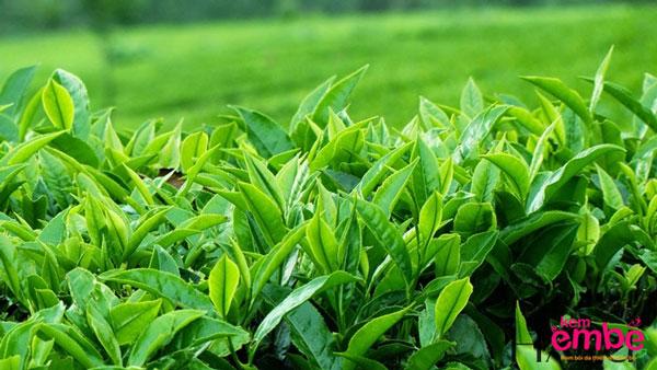 Tắm lá trà xanh giúp giảm hăm tã cho trẻ